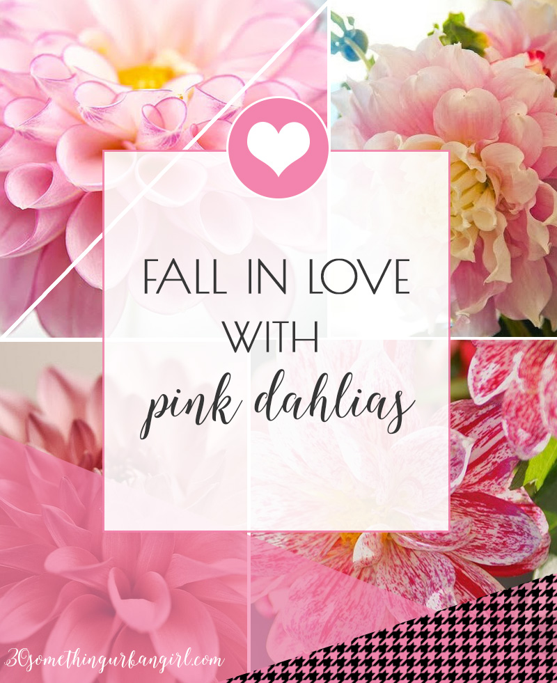 Fall in love with pink dahlias, beautiful photos about this lovely flower
